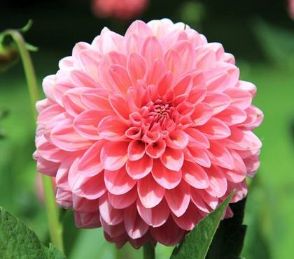 How To Easily Overwinter Dahlias Indoors [Canada]