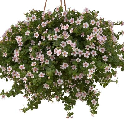 Bacopa Scopia™ Great Pink Ring
